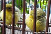Tetelo Pada Cipoh : Jangkrik Sering di Tuding Jadi Penyebabnya