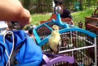 Tips Meningkatkan Mental Bertarung Burung Cipoh